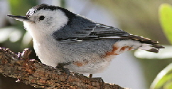 White-Breasted-Nuthatch-by-Carla-Kishinami.jpg