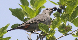 Gray-Catbird-by-Henry-McLIn.jpg