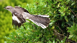 Mockingbird-exiting-nesting-spot-by-Mike.jpg