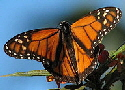 Monarch-butterfly-by-Steven.jpg