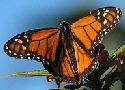 Monarch-butterfly-by-Steven.jpg