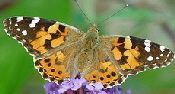 Painted Lady , another popular classic, is found across the nation. Painted Lady prefers the flower of aster, agastache, scabiosa, cosmos, cornflower, sunfloewr, malva, lead plant, thistle, hollyhock and buttonbush.  Thistle, mallow and hollyhock are preferred host to their caterpillars.