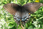 Spicebush-Swallowtail-butterfly-by-Dave-Govoni.jpg
