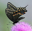 Black-Swallowtail-butterfly-by-Texas-Eagle.jpg