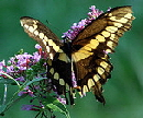Giant-Swallowtail-butterfly-by-Dave-Bonta.jpg