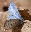 Spring-Azure-butterfly-by-j-forb.jpg