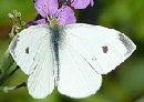 European-Cabbage-Butterfly-by-Mathesont.jpg