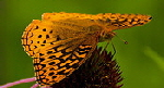 Great-Spangled-Fritillary-butterfly-by-Wes-Gibson.jpg