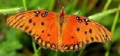 Gulf-Fritillary-butterfly-by-Steve-Selwood.jpg