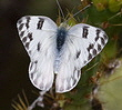 Checkered-White-butterfly-by-Ned-Harris.jpg