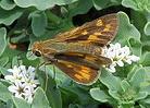 Fiery-Skipper-butterfly-by-stonebird.jpg