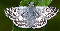 Checkered-Skipper-butterfly-by-bbum.jpg