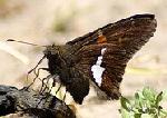 Silver-Spotted-Skipper-butterfly-by-David-Hoffman.jpg