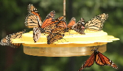 Nectar-Feeder-by-Amy.jpg