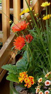 Gerbera-Daisy-long-stems-by Midwest Gardening.jpg