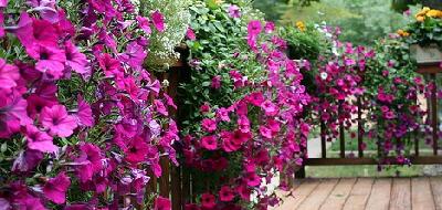Petunias-by-Linda.jpg