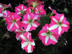 Ultra-Crimson-Star-Grandiflora-petunia-by-kaiyanwong.jpg