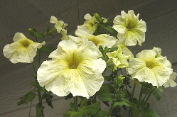 Prism-Sunshine-Floribunda-petunia-by-Satrina.jpg