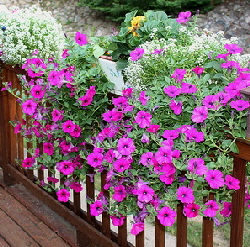 Wave-petunia-by-Linda.jpg