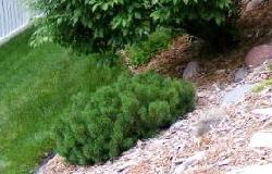 Mugho-Pine-flat-growing-shrub by Midwest Gardening.jpg