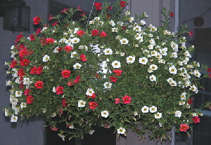 Hanging-Basket-of-Calibrachoa-by-Mike-Salsbury.jpg