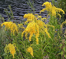 allergies-goldenrod.jpg