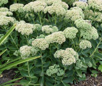Sedum--Atumn-Joy--Stonecrop-by-Midwest Gardening.jpg