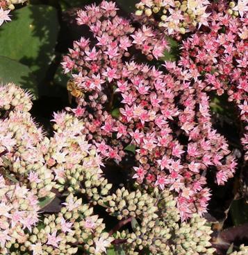 Sedum--Black-Jack--Stonecrop-flowers-by Midwest Gardening.jpg