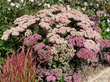 Sedum--Black-Jack--Stonecrop-by-Midwest Gardening.jpg