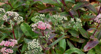 Sedum-Garnet-Brocade-flowers-by-Midwest Gardening.jpg