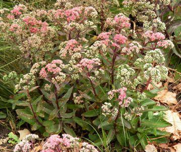 Sedum-Garnet-Brocade-by-Midwest Gardening.jpg