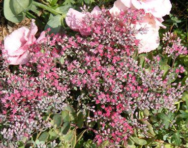 Sedum--Robustum--Ruby-Glow-by-Midwest Gardening.jpg
