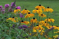 Rudbeckia--Indian-Summer.jpg