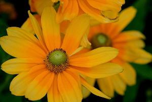 Rudbeckia-hirta-Prarie-Sun-by-Jane.jpg
