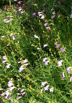 Penstemon-Sweet-Joanne-by-Midwest Gardening.jpg