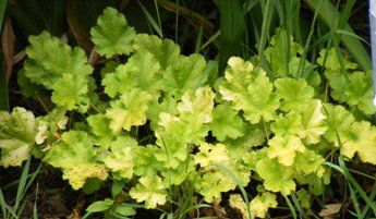 Heuchera-Dolce-Key-Lime-Pie-by Midwest Gardening.jpg