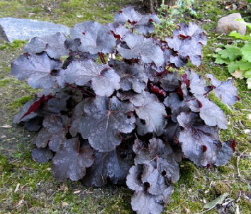 Heuchera-Dolce-Licorice-by-Daryl-Mitchell.jpg