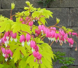 Dicentra-Gold-Heart-blooms-by-Julie-Weisenhorn.jpg
