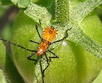Assassin-Bug-by-Martin-LaBar.jpg