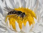 Hover-fly-by-Tindo2.jpg