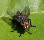 Tachinid-fly-by-Carla-Kishinami.jpg