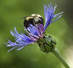 bumblebee-by-bagsgroove.jpg