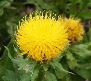 Centaurea-macrocephala-Armenian-Blanket-Flower-by-Midwest Gardening.jpg