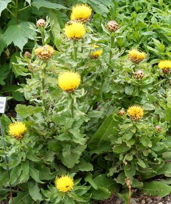 Centaurea-macrocephala-Armenian-Blanketflower-by-Midwest Gardening.jpg