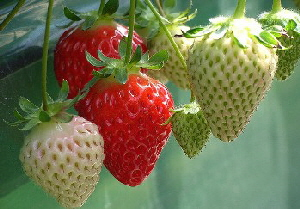 Container-Strawberries.jpg