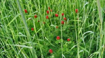 Cover-Crop-crimson-clover--cereal-rye-and-hairy-vetch.jpg
