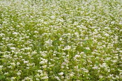 Cover-Crop-Buckwheat.jpg