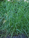 Cover-crop-Winter-Rye.jpg