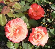 Artistry-Hybrid-Tea-Rose-blooms-by Midwest Gardening.jpg