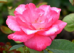 Marijke-Koopman-Hybrid-Tea-Rose-bloom-by-Midwest Gardening.jpg